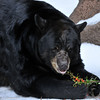 "American Black Bear savoring browse and berries on ""Snow Day"""