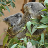 A little koala joey, eating breakfast, with its mother