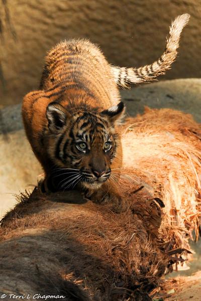 Sumatran Tiger cub (male)
