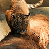 Sumatran Tiger cub (male)