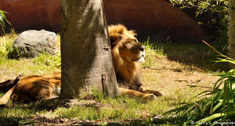 The beautiful African Lion, Hubert.