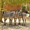 The stripe pattern of a Grevy's zebra is as distinctive as human fingerprints. It is also the most important adaptation for its survival, as movements of stripes within the herd are very confusing to a predator.<br /> <br /> Unlike the kinship of other zebra societies, the Grevy's is not a permanent one. Males are solitary and defend a huge territory of up to six miles, while females come and go. Breeding and birthing occurs throughout the year. When a foal is born, the mother will walk around her newborn so it will see only her stripe pattern.  This allows imprinting to occur, which is extremely important for survival. If a foal loses its mother, no other female will adopt it. Foals will nurse for six months and will remain with their mothers for two to three years until they reach sexual maturity. The Grevy's life span is about 18 years.<br /> <br /> This species is endangered; competition with livestock, reduced access to watering holes and habitat destruction all contribute to a decrease of the species. The L.A. Zoo participates in Species Survival Plan efforts to preserve the Grevy's zebra.