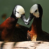 A pair of White-faced Whistling Ducks.<br /> <br /> White-faced whistling ducks are social birds that gather in large flocks, sometimes of over 1000 members. When it comes to breeding, though, they nest individually or in small groups.<br /> <br /> White-faced whistling ducks are thought to be perennially monogamous, meaning that males and females will form pairs that stay together even when it is not breeding season. They build their nests on stick platforms or on dense vegetation close to the ground. Both parents share the parenting responsibilities of incubating the eggs, protecting the nest and guarding the young. The ducklings show a high degree of independence from the beginning—they can even feed themselves after the first day.
