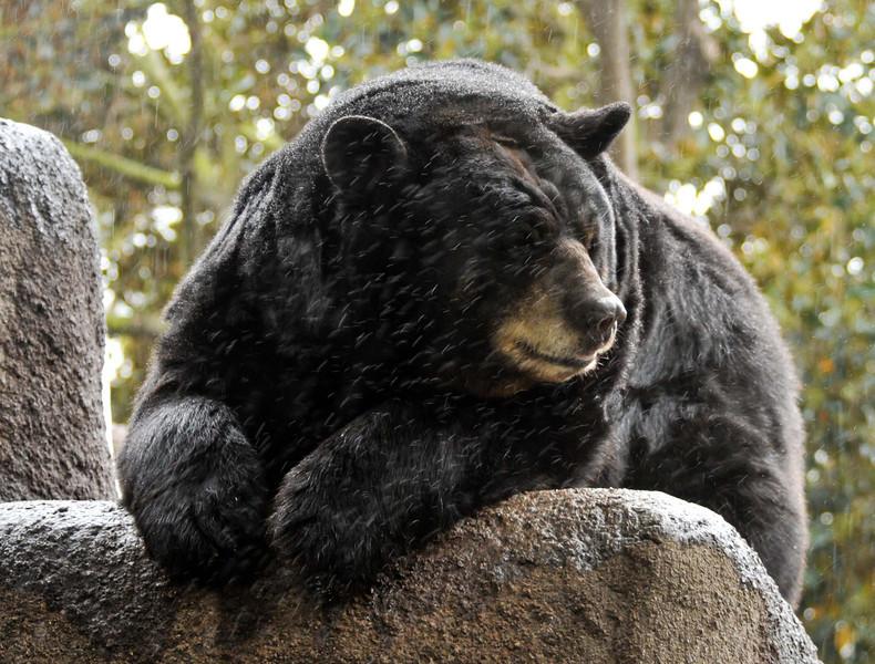 American Black bear enjoying the rain.