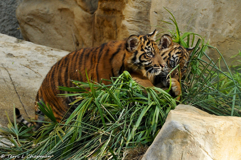 SumatranTiger cubs (both males) thrashing the exhibit plants!