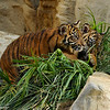 SumatranTiger cubs (both males) thrashing the exhibit plants!
