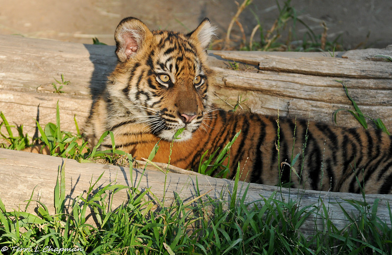 Sumatran Tiger Cub (male) resting and having a snack of grass