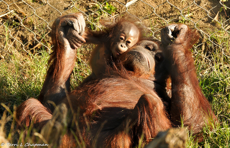 """A Bornean Orangutan baby and her mother enjoying laying in the grass on a sunny day.  Orangutans have the closest mother-offspring relationships of all nonhuman primates. Offspring remain with their mothers for seven or eight years. Adult males are the most solitary of the apes, whereas females travel with their youngsters and at times with other females as well.<br /> <br /> Status: They are endangered due to habitat loss and capture for the illegal pet trade. Their rainforest homes are rapidly declining due to illegal logging, mining, farming, oil palm plantations, and human overpopulation. Orangutan populations have declined more than 50 percent in the last decade.<br /> <br /> In the Malay language, the word orang means person and utan means forest, so their name means """"person of the forest."""""""