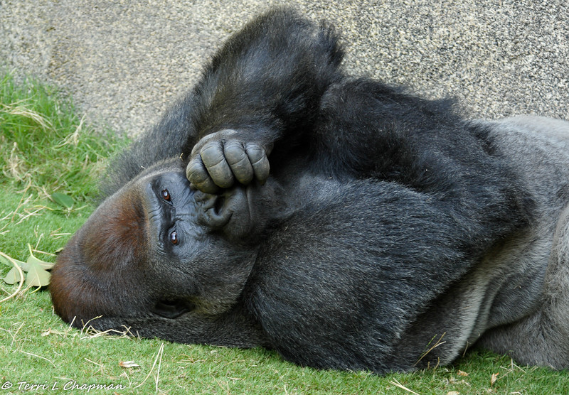 Western Lowland Gorilla. I don't think I really want to know what he is thinking of me taking his picture.