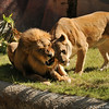 The beautiful African Lion, Hubert, and his mate Kalisa. These lions are 19 years old and have been together for 13 years. They arrived in Los Angeles in 2014 from the Woodland Park Zoo in Seattle.<br /> <br /> Post Script:  Hubert and his mate, Kalisa, both 21 years old, were euthanized July 30th, 2020, after age-related health problems began diminishing their quality of life. Because these lions were hardly ever apart from one another, the zoo's management made the difficult decision to put them to sleep at the same time so that one of them would not have to live without the other.