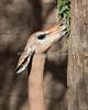 Gerenuk - a little closer