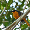 The White-crowned Robin-chat (Cossypha albicapilla) is a species of bird in the family Muscicapidae. It is found in Benin, Burkina Faso, Cameroon, Central African Republic, Ivory Coast, Ethiopia, Gambia, Ghana, Guinea, Guinea-Bissau, Mali, Niger, Nigeria, Senegal, Sierra Leone, South Sudan, and Togo. Its natural habitats are dry savanna and subtropical or tropical moist shrubland.
