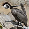 Brown Pelican grooming