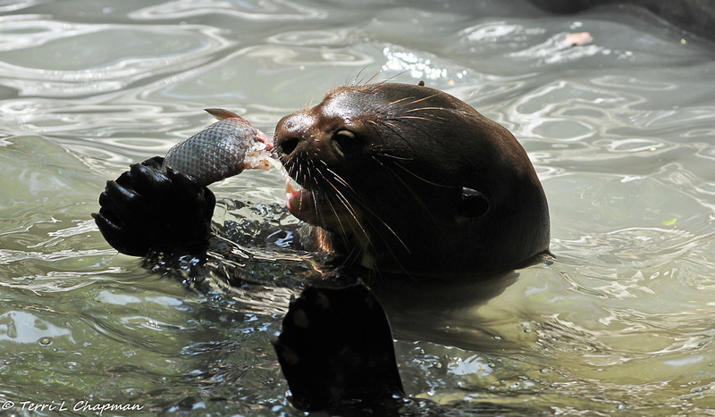 A Giant Otter happily eating a fish the animal keeper just threw into the exhibit
