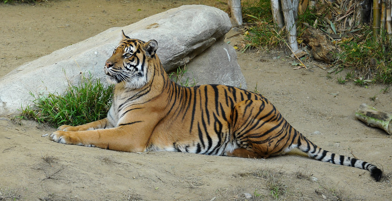 Sumatran Tiger (adult female)