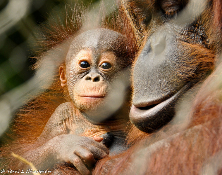 Six week old Bornean Orangutan with her mother