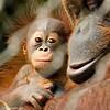 Six week old Bornean Orangutan with her mother