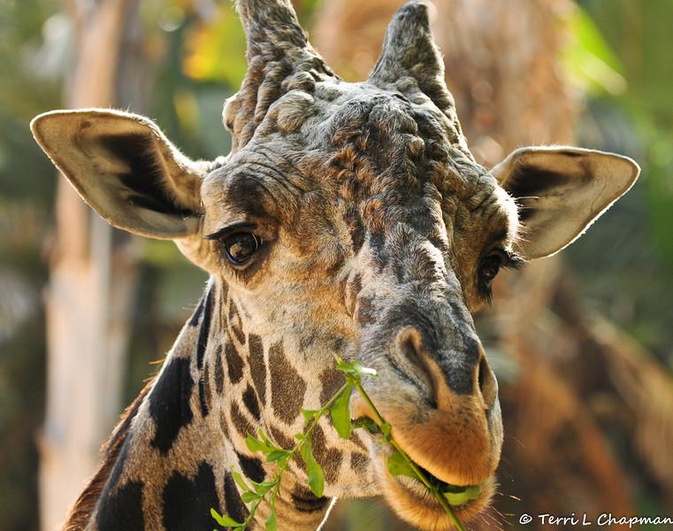 Adult male Masai Giraffe, Artimus
