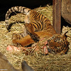 Sumatran Tiger Cub playing with his food - a leg bone