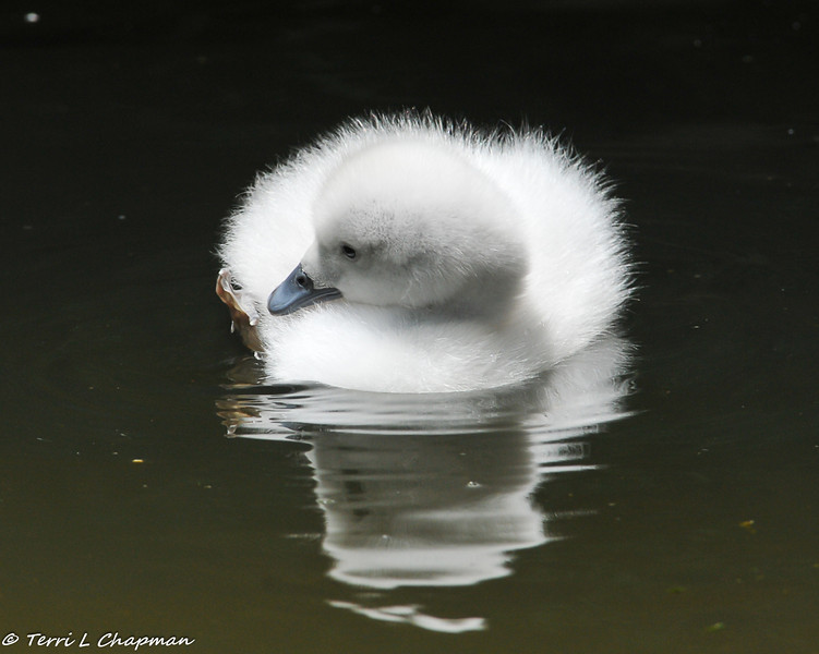 Black-necked Swan cygnet investigating his foot