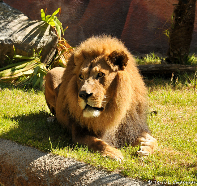 The beautiful African Lion, Hubert