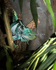 Figi Island Banded Iguana - what a beauty!