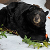 "American Black Bear on ""Snow Day"""