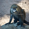 Mustached Guenon