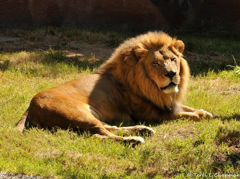The beautiful African Lion, Hubert