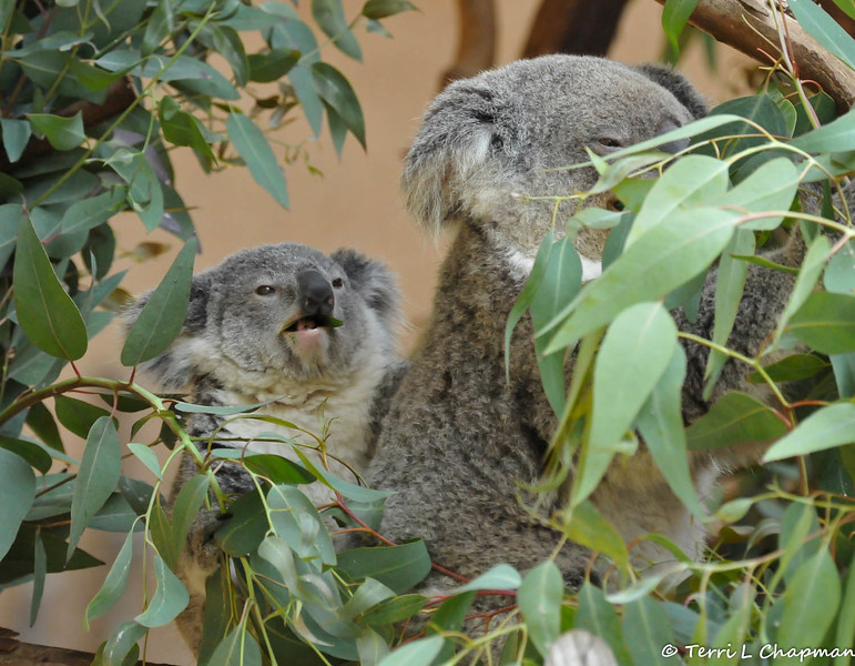 A little koala joey, eating breakfast, with its mother<br /> <br /> Even though the koala is often referred to as a bear because of its stout body, round tufted ears, and dark nose, it belongs to the marsupial family, which includes kangaroos and opossums. Marsupials are distinguished from other mammals by a pouch that aids in the rearing of their offspring.<br /> <br /> Koalas breed during Australia's spring and summer seasons that run from October through May. The gestation period is 35 days, after which the mother gives birth to a single offspring merely ¾ of an inch long that climbs from the cloaca into a rear-facing pouch and attaches to one of the mother's two teats, where it will remain for six months. At seven months, the joey is slowly weaned from milk to eucalyptus by feeding on partially digested leaves in the form of pap as they leave the mother's pouch. By the time the joey is a year old, it leaves the safety of its mother's pouch and will reach sexual maturity by the age of two, with a typical lifespan of up to 20 years.<br /> <br /> Status: At one time, koalas faced the threat of extinction by fur hunters. Thankfully, in the late 1920's the Australian government instated a nationwide ban on the killing of these docile marsupials. Listed as Vulnerable by the International Union for Conservation of Nature (IUCN), the koala population still faces obstacles that are diminishing their numbers. Over-browsed forests, brushfires, drought, infection, disease, urban encroachment, and even motorists threaten the koala population.