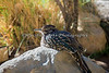A Greater Roadrunner, at rest.