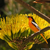 A male Bullock's Oriole perched in a Century plant. Although most visitors to the zoo come to see the animals, the zoo features more than 800 different species of plants, which provide food and shelter for many native and migratory birds, and also provides browse for many residents of the zoo.