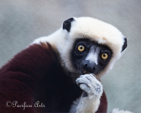 """Now, let's see....what kind of lemur are You?""   (Coquerel's Sifaka)"