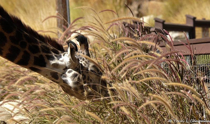 A Masai Giraffe eating grass that is growing in her enclosure