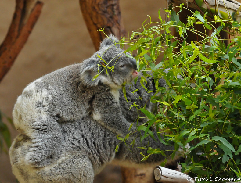 A little koala joey hitching a ride on its mother's back and hoping to get a snack in, too!