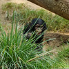 Chimpanzee baby playing with the grass