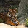 A young male Sumatran Tiger born August 6, 2011
