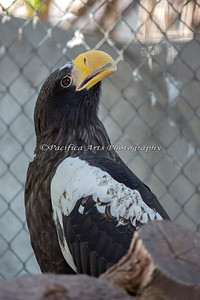 Now here's a striking bird!  This is a Steller's Sea Eagle.