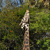 A male Masai Giraffe trying to reach for some browse