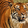 Sumatran Tiger (adult male)