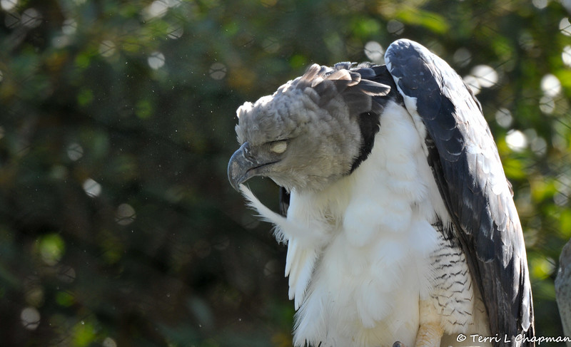 A Harpy Eagle preening his feathers. Harpy Eagles are listed as Near Threatened by the International Union for Conservation of Nature (IUCN). These diurnal carnivores hunt arboreal (tree-living) mammals, reptiles, and other birds. Their most common animals of prey include monkeys, sloths, opossums, and other rodents.