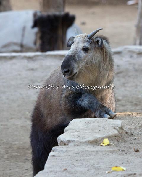 Such an adorable face!  (Sichuan Takin calf)