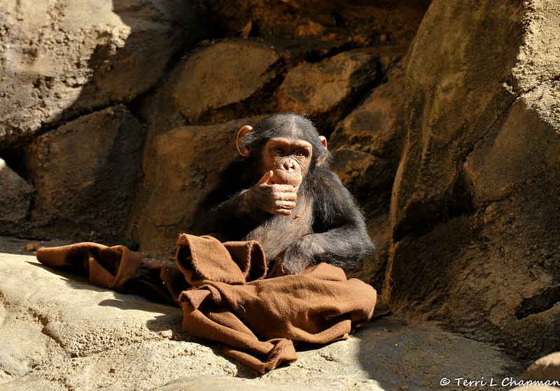 A baby Chimpanzee playing with a blanket given to it as part of the zoo's animal enrichment program.