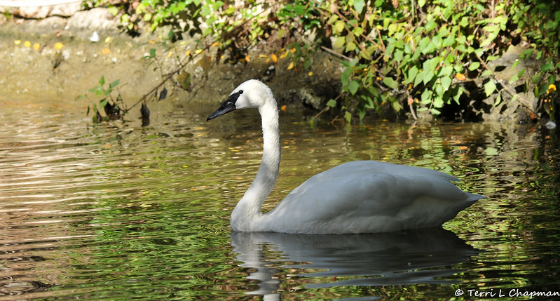 A male Trumpeter Swan. One of seven swan species, the trumpeter is the world's largest waterfowl with a wingspan of roughly 6.5 feet and a weight of up to 25 pounds. It flies with extraordinary power, but due to its weight, is unable to launch directly from the water. The swan must paddle along the surface about 18 feet before taking off.