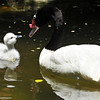 Black-necked Swan and her cygnet