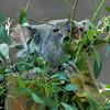 Koala enjoying the browse