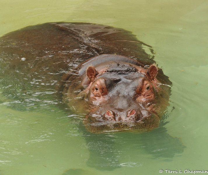 Adhama, a 3 year old male hippopotamus, who came from the San Diego Zoo in June 2013.