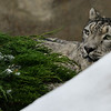 "Snow Leopard on ""Snow Day"""