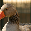 """Mario"" is a Toulouse Goose that was being cared for at the zoo while his Echo Park Lake home is under construction.<br /> <br /> This goose became the subject of news reports in 2011 after forming an unusual association with a local resident, named Dominic Ehrler.<br /> <br /> Maria, named by locals and assumed to be female, was familiar to users of the park for several years as a goose which preferred the company of humans to that of his own species, often pecking at homeless people or following walkers and runners around.<br /> <br /> Ehrler, a retired salesman, first encountered Maria at Echo Park lake in the summer of 2010 when the goose began to follow him on his daily walks around the lake, readily accepting food from him and soon becoming so attached that he would wait beside the road every morning for Ehrler to arrive at the park. Maria would walk alongside and possessively 'protect' Ehrler from other park users and their dogs and would also attempt to follow him from the park, flying closely behind him as he rode away on his scooter, necessitating attempts to distract the goose, or lock him behind a fence when leaving, to avoid being followed all the way home.<br /> <br /> Maria, along with the other geese present at Echo Park were temporarily relocated to Los Angeles Zoo in April 2011 and placed into quarantine, as the park underwent restoration and the lake was drained. It was at this time that veterinarians at the zoo discovered that Maria was in fact a male goose (a gander) and was renamed Mario. <br /> <br /> When the lake was restored, it was decided it was in Mario's best interest to keep him as a permanent resident of the zoo."