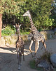 These two males were sparring on the day I was there.  (Masai Giraffes)